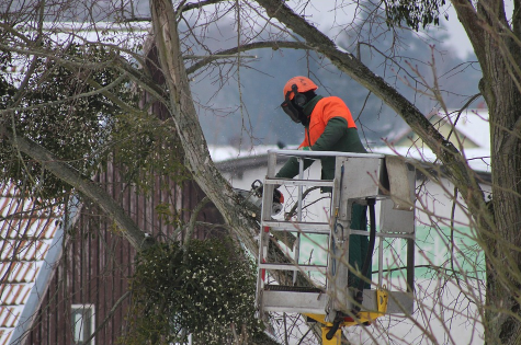 this image shows residential tree service pruning trees waterloo